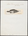 Labrus donovani - 1788 - Print - Iconographia Zoologica - Special Collections University of Amsterdam - UBA01 IZ13900179.tif
