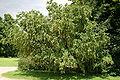 Laburnum alpinum JPG1A.jpg