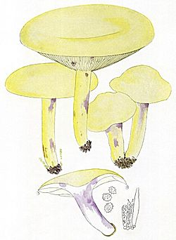 Lactarius flavidus-Bres.jpg