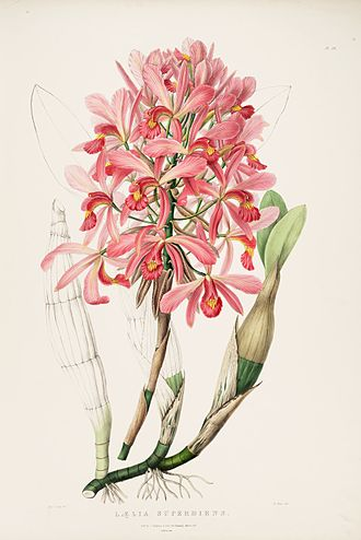 Sympodial - Laelia superbiens, a sympodial orchid.