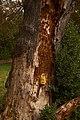 Laetiporus sulphureus (29369476580).jpg
