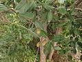 Lagerstroemia parvifolia 01.JPG