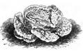 Laitue blonde de Chavigné Vilmorin-Andrieux 1883.png