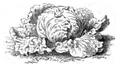 Laitue chou de Naples Vilmorin-Andrieux 1883.png