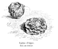 Laitue d'Alger Vilmorin-Andrieux 1904.png
