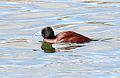 Lake Duck (Oxyura vittata) (15770041517).jpg