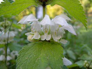 Lamium album - Closeup of White deadnettle flowers