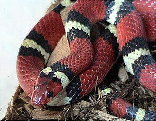 Kingsnake genus of reptiles