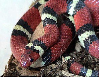 Snakes on a Plane - A scarlet kingsnake was one of the many snakes used during filming