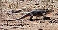 Land iguana (32852500387).jpg