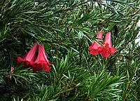 Lapageria rosea (1)