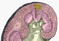 Large nephron.png
