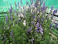Larkspur from Lalbagh flower show Aug 2013 8063.JPG