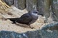 Larosterna inca (Inca Tern - Inkaseeschwalbe) Weltvogelpark Walsrode 2012-011.jpg