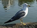 Larus crassirostris -Japan-8.jpg
