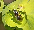 Lasioglossum sp. female - Flickr - gailhampshire (3).jpg