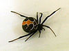 Latrodectus katipo close.