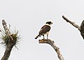 Laughing Falcon (Herpetotheres cachinnans) (5198323219).jpg