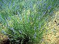 Lavandula latifolia 2DehesaBoyalPuertollano.jpg
