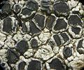 Lecanora cenisia - Flickr - pellaea (1).jpg