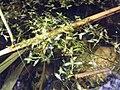 Lemna trisulca sl7.jpg