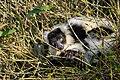 Lemur (26619239677).jpg