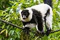 Lemur (26773270039).jpg