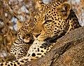 Leopard (27707947638).jpg