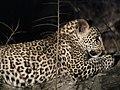 Leopard (43841718775).jpg