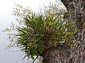 Leopard Orchid (Ansellia africana) clump (31555335743).jpg