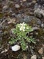 Lepidium papilliferum plant 4.jpg