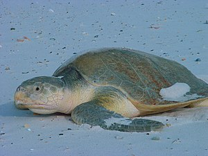 Kemp's ridley sea turtle, an endangered species Lepidochelys kempii.jpg