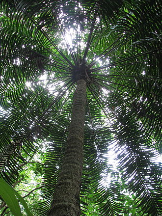 Lepidozamia - L. hopei: tall plant in the Daintree Rainforest, north-east Queensland
