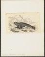 Leptonyx monachus - 1700-1880 - Print - Iconographia Zoologica - Special Collections University of Amsterdam - UBA01 IZ21100171.tif