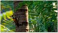 Lesser Flameback (Dinopium benghalense) by Dharani Prakash.jpg