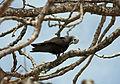 Lesser Noddy - Anous tenuirostris 2.jpg