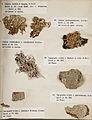 Lichenes Helvetici III IV 1842 019.jpg