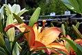 Lilium Royal Sunset 0zz.jpg
