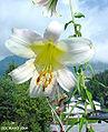 Liliumsulphureumflower5.jpg