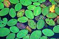 Lily Pads (Douglas County, Oregon scenic images) (douDA0180).jpg