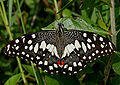 Lime Butterfly (Papilio demoleus) in Hyderabad, AP W IMG 0557.jpg