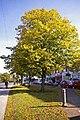 Lime Trees, Bramley Parade, London N14 - geograph.org.uk - 1025543.jpg