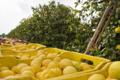Limone di Siracusa IGP 8.png