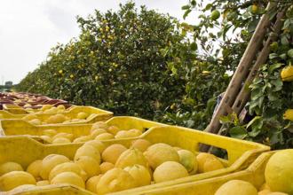 Siracusa Lemon - Siracusa lemons in the field