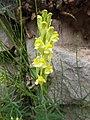 Linaria vulgaris Piazzo 02.jpg