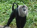 Lion Tailed Macaque Proud.jpg