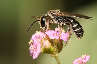 Pollinator - Lipotriches sp. bee pollinating flowers