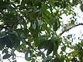 Litsea stocksii (17289846382).jpg