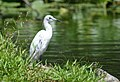 Little Blue Heron (juvenile) (34756923554).jpg