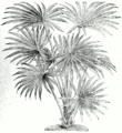 Livistona australis.png